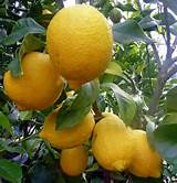 eureka lemon fruit tree garden ideas pinterest